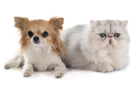 persian cat: persian cat and chihuahua in front of white background