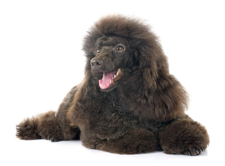 grooming: brown poodle in front of white background