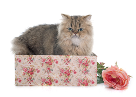persian cat: persian cat in front of white background Stock Photo