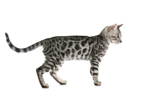 white cat: bengal kitten in front of white background