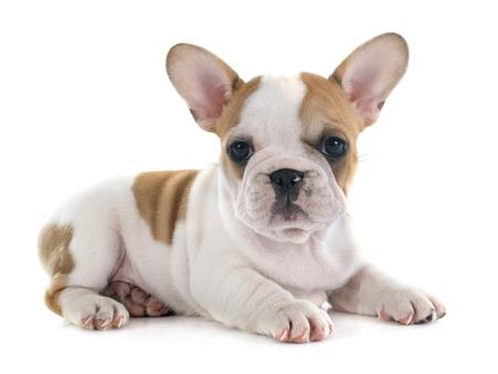 흰색 배경 앞의 강아지 프랑스 불독 스톡 콘텐츠
