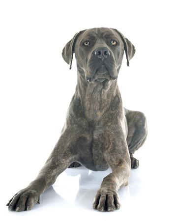 dog isolated: italian mastiff in front of white background