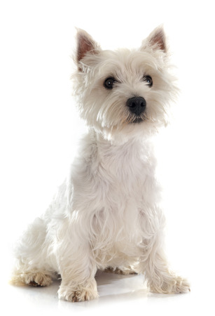 westie: west highland terrier in front of white background Stock Photo