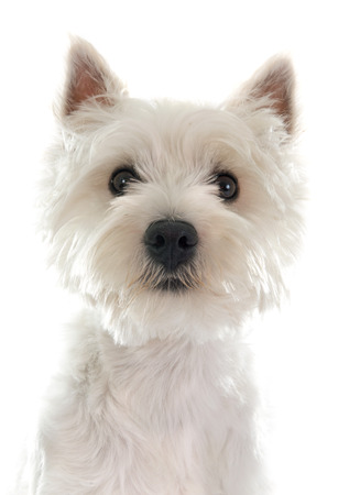 west highland terrier in front of white background Stock Photo