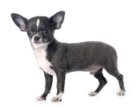 perrito: Perrito chihuahua delante de fondo blanco