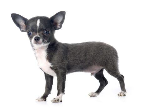 PUPPIES: puppy chihuahua in front of white background