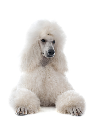 white Standard Poodle in front of white background