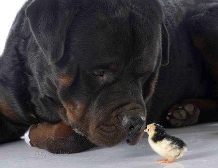 rottweiler: rottweiler and chick in front of white background