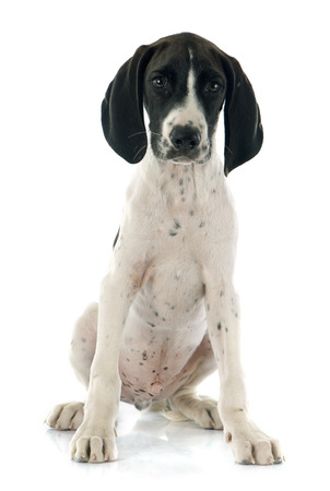 on a white background: puppy Braque dAuvergne in front of white background