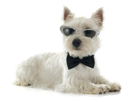 bowtie: west highland terrier in front of white background Stock Photo