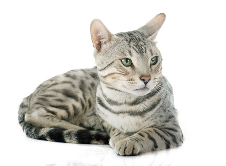 white cat: bengal cat in front of white background Stock Photo