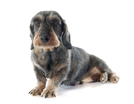 Wire-haired dachshund in front of white background
