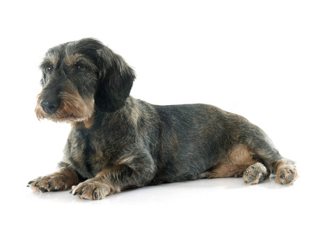 elderly adults: Wire-haired dachshund in front of white background