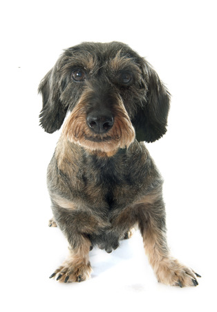 on a white background: Wire-haired dachshund in front of white background