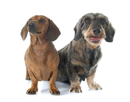 perro de caza: dos perros salchicha en frente de fondo blanco