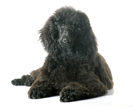 pedigreed: puppy black poodle in front of white background