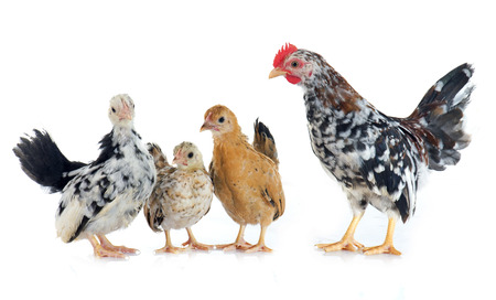 fondo blanco: pollos Serama delante de fondo blanco Foto de archivo