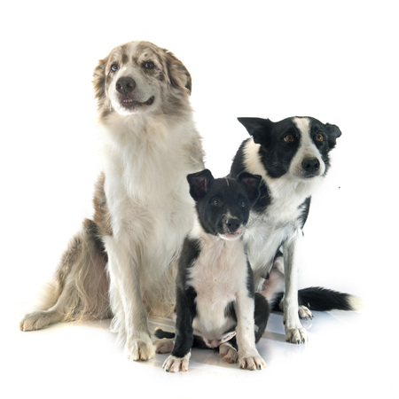 sheepdogs: family border collier in front of white background