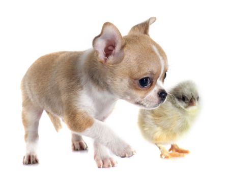 animal hair: puppy chihuahua and chick in front of white background