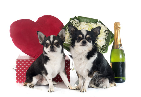 saint valentines: Saint Valentines Day and chihuahua in front of white background Stock Photo