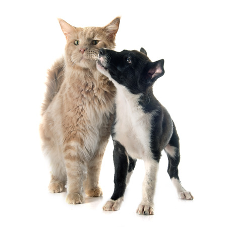 black dog: puppy border collie and maine coon in front of white background Stock Photo