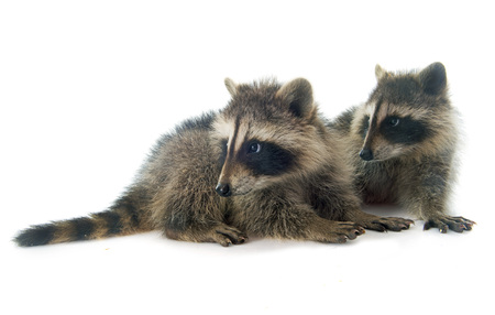 vertebrate animal: young raccoon in front of white background Stock Photo