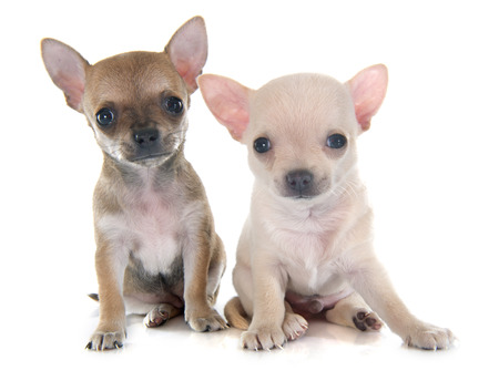chihuahua puppy: puppies chihuahua in front of white background Stock Photo