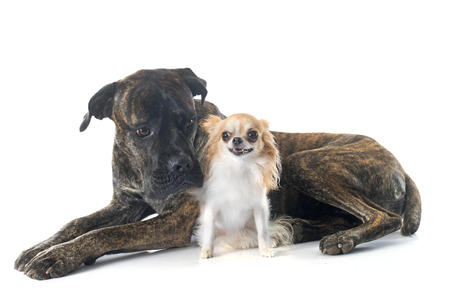 mastiff: italian mastiff and chihuahua in front of white background