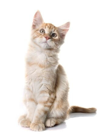 maine coon: maine coon kitten in front of white background
