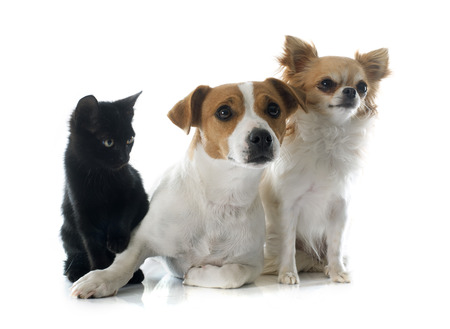russel: jack russel terrier, kitten  and chihuahua in front of white background