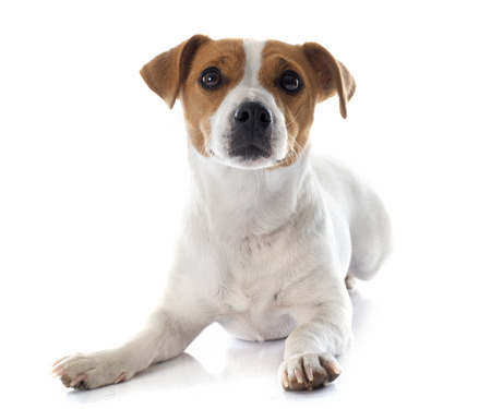 jack terrier: jack russel terrier in front of white background