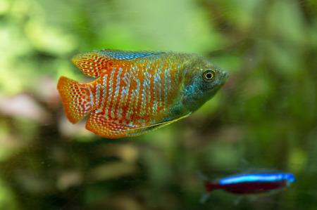 gourami: adult male Dwarf gourami in an aquarium Stock Photo