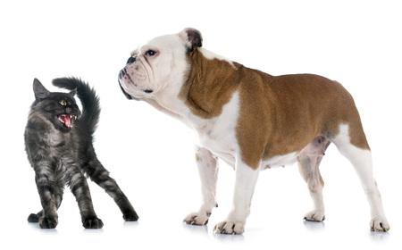 Bulldog Inglés y el gato enojado delante de fondo blanco Foto de archivo - 46144134