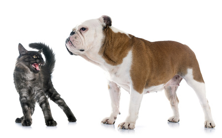 maine cat: english bulldog and angry cat in front of white background Stock Photo