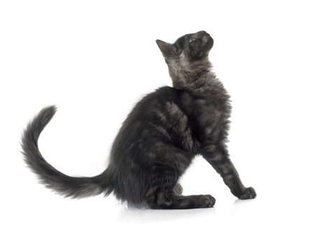 cat isolated: maine coon kitten in front of white background