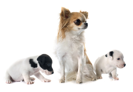 russel: puppies jack russel terrier and chihuahua in front of white background