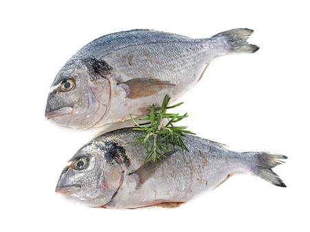 dorade: Gilt-head bream in front of white background