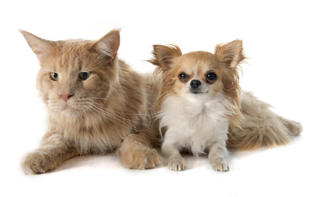 maine coon cat and chihuahua in front of white background Stock Photo