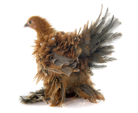 feathered: Curly Feathered chicken Pekin in front of white background