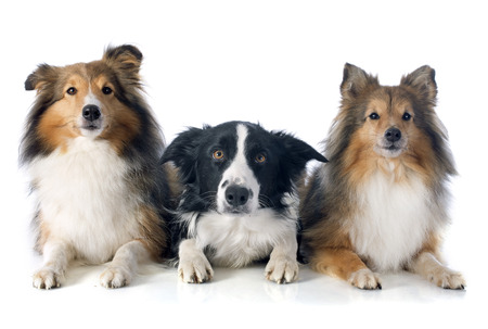 animals together: portrait of purebred border collie and shetland sheepdogs in front of white background