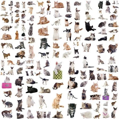 koty: grupa kotów przed białym tle