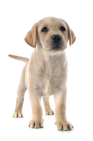 purebred: purebred puppy labrador retriever in a studio