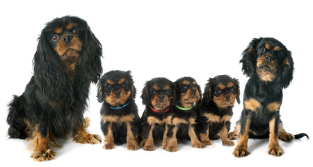 cavalier: cavalier king charles in front of white background Stock Photo