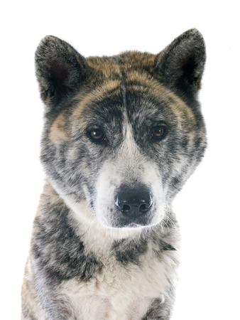 brindle: akita inu in front of white background