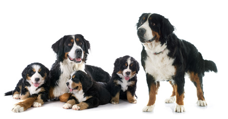adult: pupies and adult bernese mountain dog in front of white background Stock Photo