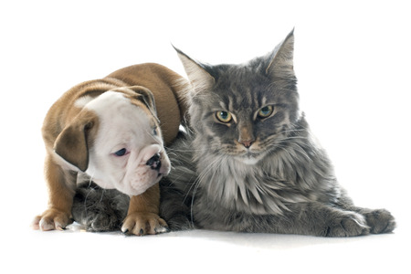 white cat: puppy english bulldog and cat in front of white background Stock Photo