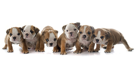 puppies english bulldog in front of white background