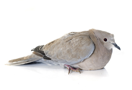 invasive species: Eurasian collared dove in front of white background Stock Photo
