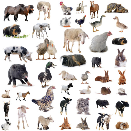 granja: animales de granja en frente de fondo blanco Foto de archivo