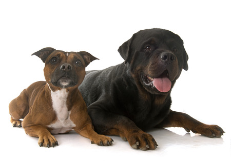 rottweiler: staffordshire bull terrier and rottweiler in front of white background